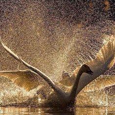 #repost @gabriele_corno #bird #birds #birdsofinstagram #wings #swan #beauty #nature #naturelovers #nature_perfection #magic #zen #serene #serenity #tranquil #tranquility #dream #dreams #dreambig #dreamcatcher #gratitude #hope #picoftheday #photooftheday #live #love #picoftheday #photooftheday #love #live #life #awesome #instagood #amazing
