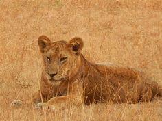 Lions @ Queen Elizabeth National Park