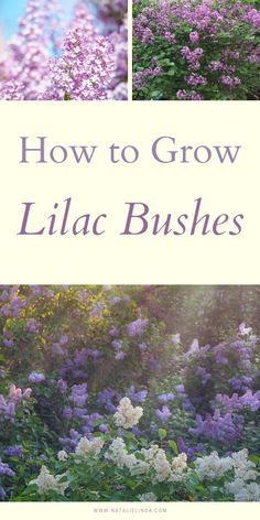 Learn to grow beautiful lilac bushes so you can enjoy fragrant lilacs in your yard! Lilac bushes are low-maintenance perennial shrubs that live for decades are easy to grow!