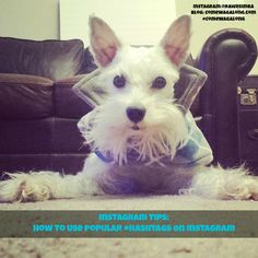 #Instagram Tips: How to Use Popular #Hashtags on Instagram #minischnauzer #dogstagram
