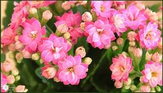 Learn all about kalanchoe blossfeldiana care and how to make kalanchoe bloom and rebloom! These flowering succulent plants, aka flaming Katy, House Plants, Vibrant Flower, Plants, Succulents, Easy Care Plants, Kalanchoe Blossfeldiana, Flowers, Indoor Flowering Plants, Planting Succulents