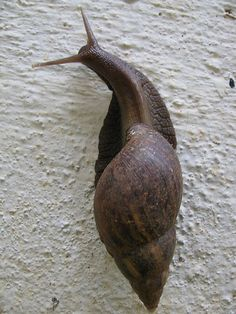 When ants cleaned out a Giant African Land Snail