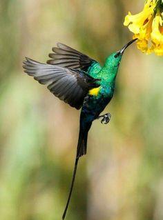 Malachite Sunbird!
