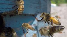 Honey Bees in slow-motion here at the Honey Shack Apiary