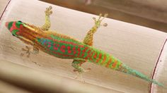 Papagekon » Phelsuma ornata