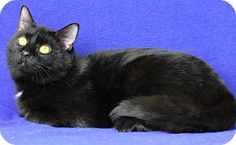 Blackwood, NJ - Domestic Shorthair. Meet Friday, a cat for adoption. http://www.adoptapet.com/pet/17598858-blackwood-new-jersey-cat