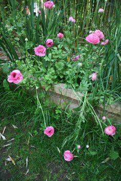 Ranunculus / Ranunkeln