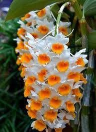 Hasil gambar untuk Pinterest orquideas dendrobium mais lindas do0 mundo ]