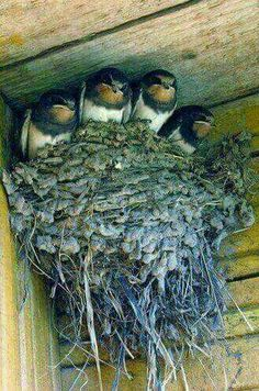 chicks The barn swallow is the most widespread species of swallow in the world. It is a distinctive passerine bird with blue upperparts and a long, deeply forked tail. It is found in Europe, Asia, Africa and the Americas. Pretty Birds, Beautiful Birds, Animals Beautiful, Nature Animals, Animals And Pets, Cute Animals, All Birds, Little Birds, Bird Pictures