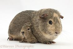 Yellow-agouti adult and baby Guinea pigs photo