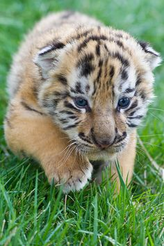 3 and week old Siberian Tiger. I will have a pet tiger! Big Cats, Cats And Kittens, Cute Cats, Siamese Cats, Tiger Pictures, Cute Animal Pictures, Baby Animals Super Cute, Cute Little Animals, Beautiful Cats