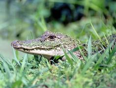 Avery Island's 170-acre Jungle Gardens nature and wildlife preserve is an exotic botanical treasure. Stroll the grounds and you may see alligators, deer, snowy egrets and other migratory birds.