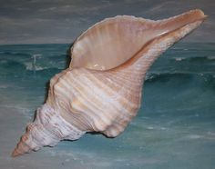 "Large 12 1/2"" FLORIDA Beach Found Light ORANGE Horse Conch SEASHELL"