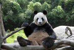 4.4 million visitors flocked to the Ueno Zoo in Tokyo to see Ri Ri and Shin Shin,    http://dailyovation.com/2012/04/12/tokyo-panda-riri-shinshin/
