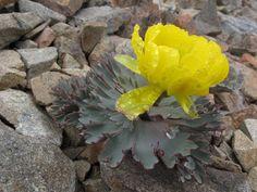 Ranunculus acraeus - plant of the month for August 2014. The photo was taken by Dunedin botanist John Barkla.