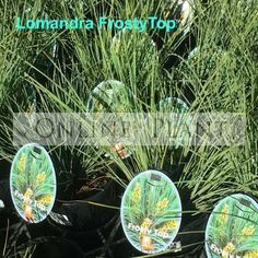 Lomandra confertifolia Frosty top Tussocks of blue grey foliage with a weeping habit Yellow Flowers, Plants, Foliage, Growing, Drought Tolerant, Flower Spike, Lomandra, Flowers, Garden Features