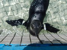 Volunteer with Via Volunteers in South Africa and help to rehabilitate endangered African Penguins and other marine bird species at the SANCCOB rehab centre near Cape Town.