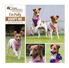 Polly wolly doodle all the day ... yes, she do! #AdoptTerrier #JackRussell