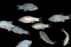 Picture of a group of desert pupfish
