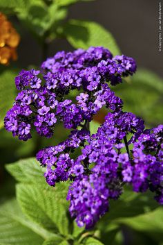 Heliotrope ~ has a lovely vanilla scent