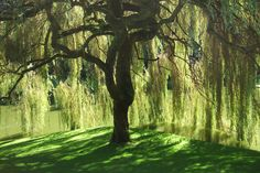 Sep 2018 - Love the willow trees especially in the spring when the branches are so light and graceful as they first come into bloom. See more ideas about Weeping willow, Willow tree and Landscape. Weeping Willow, Willow Tree, Willow Bark, Willow Wood, Sauce Arbol, Fast Growing Shade Trees, Wisteria, Landscape Photos, Landscape Design