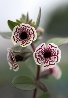 ~~Calico Monkey Flower: Mimulus pictus~~ Robin, I don't know where you find all of these beautiful flowers but thank you. Unusual Flowers, Rare Flowers, Amazing Flowers, Colorful Flowers, Beautiful Flowers, White Flowers, Beautiful Gorgeous, Flowers Gif, Simply Beautiful