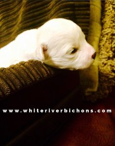 Bichon Frise AKC Puppy for sale www whiteriverbichons com