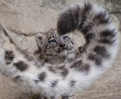 """Snow leopard Cub """"Mohan"""" looking through mummy's tail"""