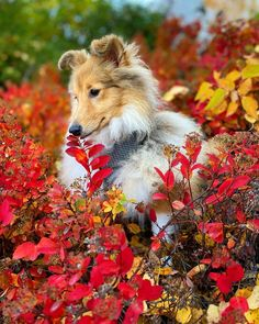 Cute Funny Animals, Cute Dogs, Awesome Dogs, Mini Collie, Female Dog Names, Shetland Sheepdog, Dogs And Puppies, Doggies, Sheltie
