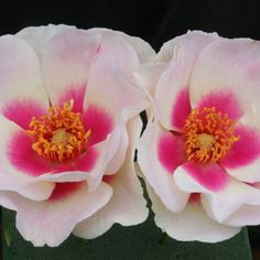 Bull's Eye™ - The cranberry eye zone set at the base of each creamy white petal might remind you of 'Rose of Sharon' and it keeps that novel marking until the flower finishes. This bushy plant has superb black spot resistance. Better habit and bloom capacity in colder climates.