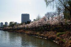 湘來和台妹 :: 석촌호수의 잔잔한 물결과 어우러진 벚꽃