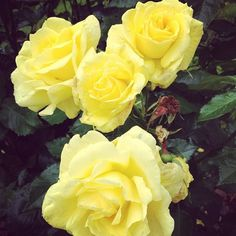 Our yellow rose bush is brightening this rainy Portland morning. #alimagram