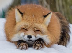 The fox - one of the most amazing animals there is! Submit pictures, questions, or anything related to foxes. Cute Baby Animals, Animals And Pets, Funny Animals, Funny Pets, Beautiful Creatures, Animals Beautiful, Fuchs Baby, Fox Pictures, Pet Fox
