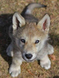 Baby wolf so cute. Cute Baby Animals, Animals And Pets, Funny Animals, Strange Animals, Beautiful Wolves, Animals Beautiful, Wolf Photos, Wolf Spirit Animal, Wolf Pup