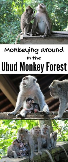 UBUD, Bali | A lot of monkey business goes on at the Sacred Monkey Forest Sanctuary in Ubud, Bali. The shady forest is the jungle home to three 11th-century holy temples and over 550 cheeky long-tailed macaque monkeys. Watch your things (because the monkeys will steal them). But you'll love monkeying around in the Ubud Monkey Forest!