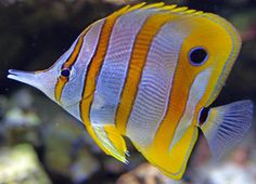 MEDIUM COPPERBAND BUTTERFLY marine fish safe with coral and frags LPS and SPS at Aquarist Classifieds
