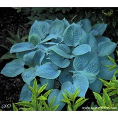 Hosta 'Fragrant Blue' has white flowers that bloom in the summer. It has a medium growth rate and will reach only tall. This is an excellent speciman plant. Fragrant Blue will do best in full sun to light shade. Hosta Plants, Shade Perennials, Shade Plants, Garden Plants, White Flowers, Beautiful Flowers, Lavender Flowers, Simply Beautiful, Blue Hosta
