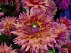 Full size picture of Formal Decorative Dahlia 'Sonic Bloom' (Dahlia)