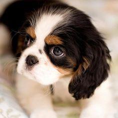 Lovely Cavalier