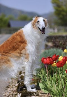 Borzoi enjoying spring tulips