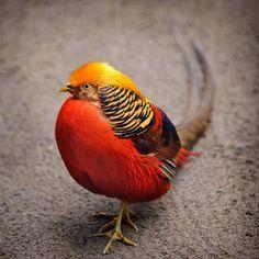 The Golden Pheasant by Ari Salmela