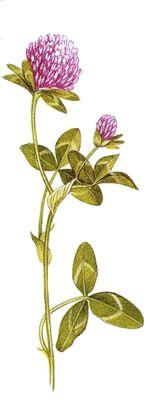 Operagastro > Ricette coi fiori: Frittura di tulipani (o zucca o trifoglio).