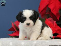 Mack, Havanese puppy for sale from Kinzers, PA