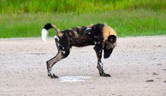 #wild #dog in #africa