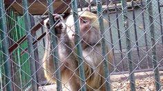Second Maszat (poor Hamadryas Baboon, Zoo Bratislava)