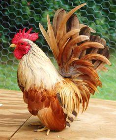 """bewareofchickens: """" Bantam Rooster """""""