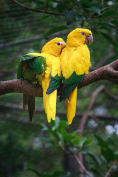 I really like the combination of the green tips on their yellow wings. Really beautiful birds.