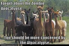 Forget about the Zombie Apocalypse...  You should be more concerned by the Alpacalypse