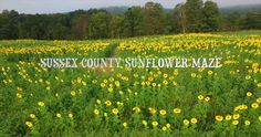 Sussex County Sunflower Maze on Vimeo