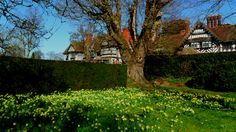 Golden colour brightens this corner of the garden at Wightwick Manor in the Spring © National Trust